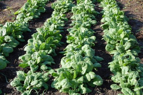 cover crop,Lavori e semine nell'orto a Settembre, lavori nell'orto, sovecio, sovescii, concimazione verde