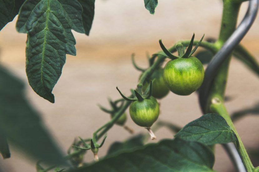 Coltivare pomodori nell'orto Semina, trapianto, potatura, concimazione e irrigazione ecco tutto quello che serve sapere sulla pianta regina degli ortaggi.