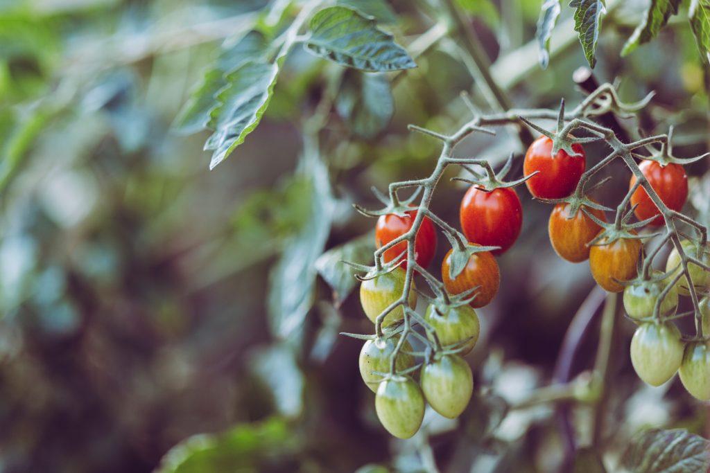 Il pomodoro è una pianta che non può mancare nel vostro orto.