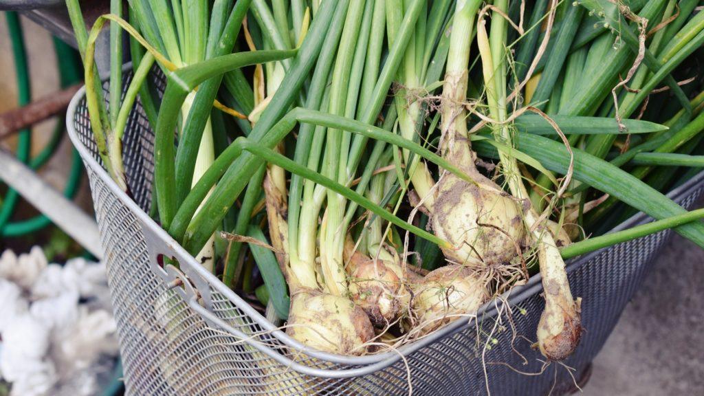 Le cipolle sono uno degli ortaggi più coltivati negli orti familiari.