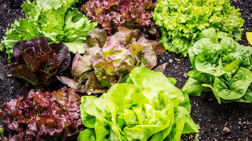 Lattuga e lattughino sono due varietà di insalata che vengono consumate pressoché tutto l'anno.