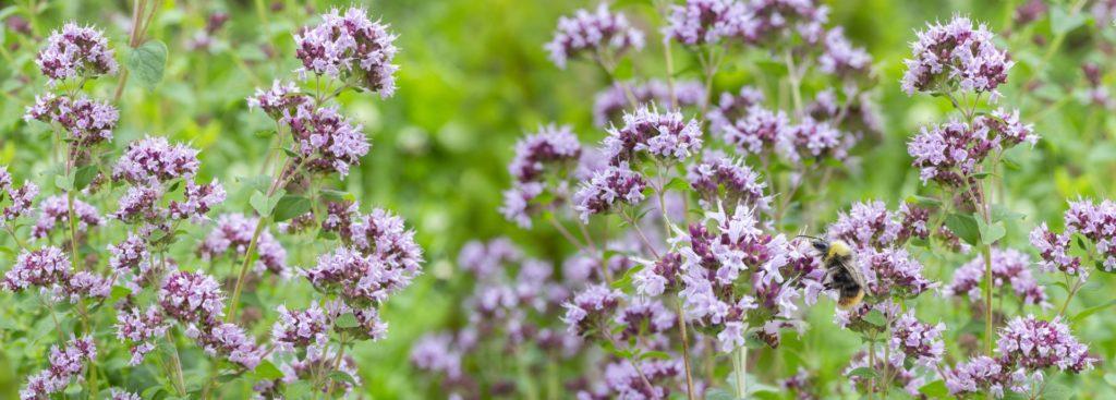 Il timo e l'origano attirano le api e sono le piante mellifere.