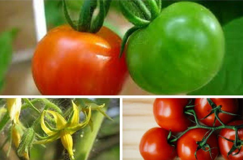 coltivare pomodoro