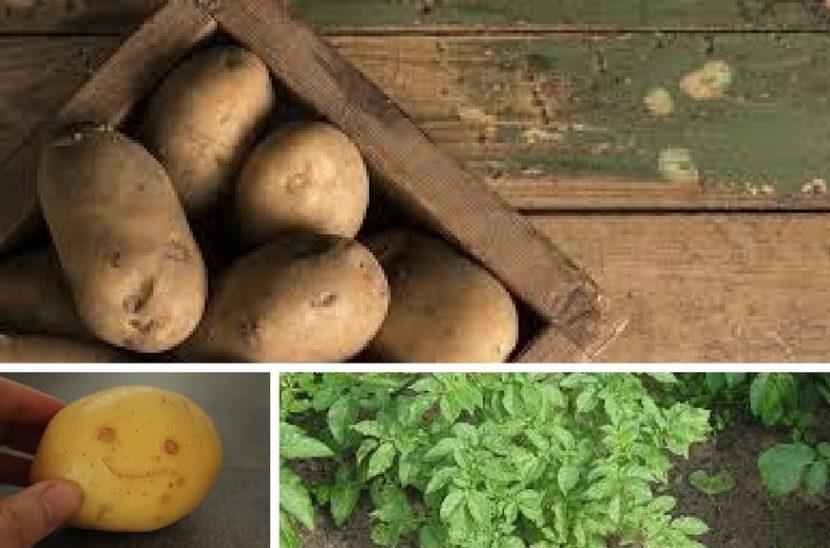 vzgajanje krompirja