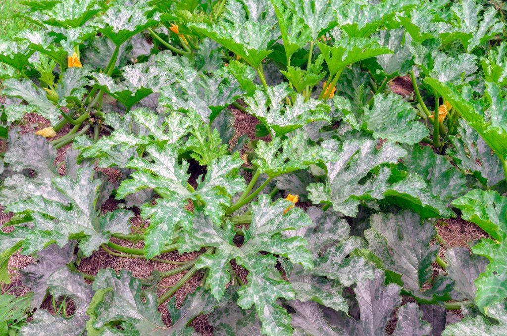 pacciamatura per le zucchine